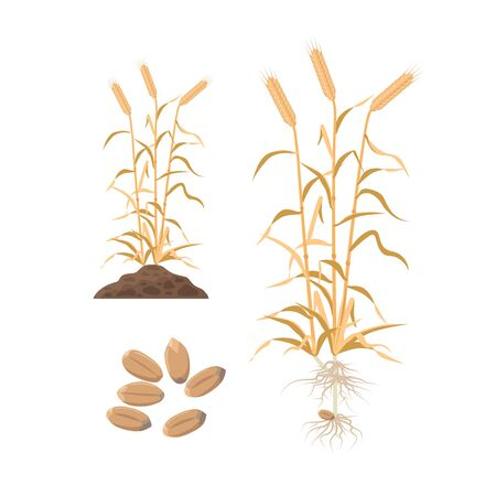 Wheat mature plant with wheat grains, roots and plant growing from soil - set of vector illustrations in flat design, botanical infographic elements isolated on white background