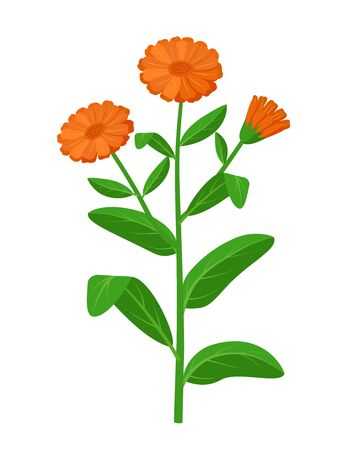 Calendula officinalis healing flower vector medical illustration isolated on white background in flat design, infographic elements, commom marigold healing herb icon.