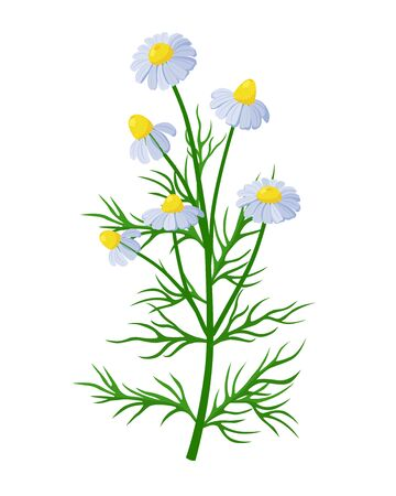 Chamomile healing flower vector medical illustration isolated on white background in flat design, infographic elements, Camomile healing herb icon