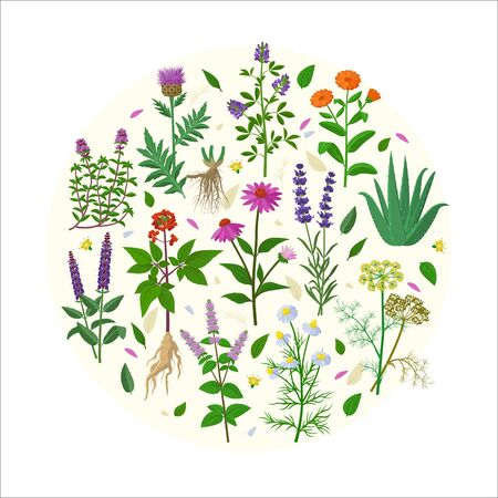 Collection of healing herbs and flowers in flat design vector illustrations isolated on white background. Chamomile, Aloe vera, Lavandula , Calendula, Thyme, Alfalfa, Echinacea, Panax, Salvia etc