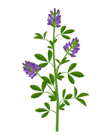 Alfalfa, lucerne healing flower vector medical illustration isolated on white background in flat design, infographic elements, healing herb icon