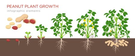 Peanut growing stages vector illustration in flat design. Planting process of groundnut plant. Peanut growth from seed to flowering and fruit-bearing plant isolated on white background. Ripe peanuts