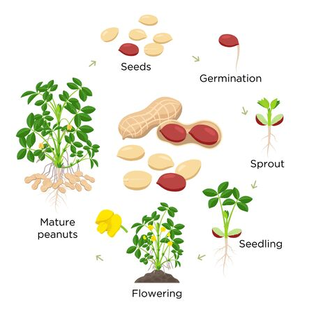 Peanut growth stages vector illustration in flat design. Planting process of groundnut plant. Peanut life cycle from seed to flowering and fruit-bearing plant isolated on white background