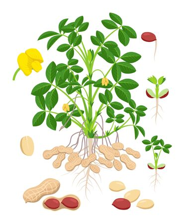 Peanut growth parts and stages - set of botanical vector illustrations in flat design isolated on white background. Stock Illustratie