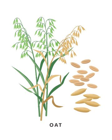 Oat cereal grass and grains - vector botanical illustration in flat design isolated on white background.