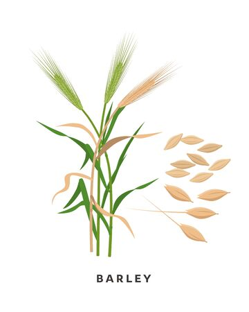 Barley cereal grass and grains - vector botanical illustration in flat design isolated on white background Иллюстрация