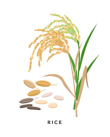 Rice cereal grass and grains - vector botanical illustration in flat design isolated on white background Иллюстрация