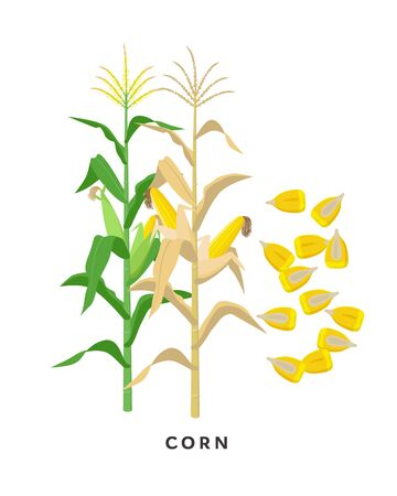 Maize plant and corn cereal grains - vector botanical illustration in flat design isolated on white background.