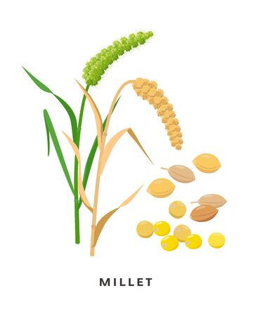 Millet cereal grass and grains - vector botanical illustration in flat design isolated on white background. Proso millet seeds and ripe plant.