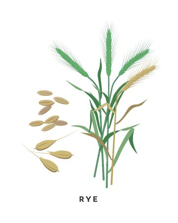 Rye cereal grass and grains - vector botanical illustration in flat design isolated on white background Иллюстрация
