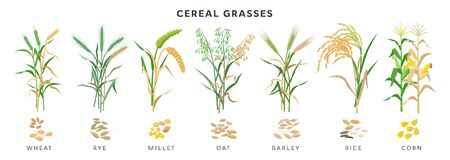 Cereal grasses big collection of plants and seeds, botanical drawings in flat design isolated on white background. Cereals - wheat, rye, oat, millet, barley, maize, rice planting infographic elements. Ilustração