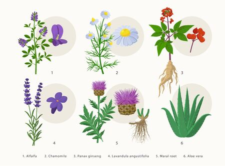 Medicinal herbs and their flowers, plants icons collection, flat illustrations isolated on white background. Alfalfa, Chamomile, Panax ginseng, Lavender, Maral root, Aloe vera - botanical drawings 矢量图像
