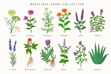 Medicinal herbs and flowers big collection of illustrations in flat design isolated on white background. Chamomile, Aloe vera, Lavender, Calendula, Thyme, Alfalfa, Echinacea, Fennel, Salvia, Mentha. Ilustração