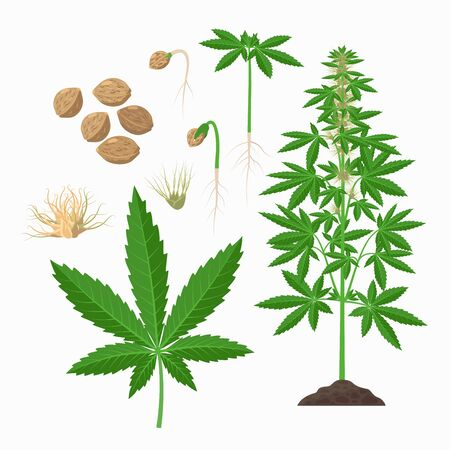 Hemp plant, seeds, leaves, stem, flowering plant, growing infographic elements. Cannabis sativa set of botanical illustrations, drawings in flat design Ilustração