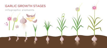 Garlic plant growign stages from deeds, garlic sets to ripe garlic - set of botanical detailed infographic elements vector illustrations isolated on white background. Ilustração