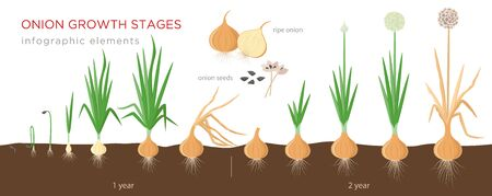 Onion plant growing stages from seeds to ripe onion - two year cycle development of onion - set of botanical detailed infographic elements, vector illustrations isolated on white background 矢量图像