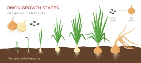Onion plant growing stages from seeds to ripe onion - development of onion seeds, growth cycle - set of botanical drawings, infographic elements, vector illustrations isolated on white background. 矢量图像