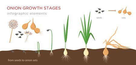 Onion plant growing stages from seeds to onion sets - first year development of onion seeds - set of botanical detailed infographic elements, vector illustrations isolated on white background. Ilustração