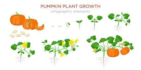 Pumpkin plant growth stages infographic elements in flat design. Planting process of Cucurbita from seeds, sprout to ripe vegetable, plant life cycle isolated on white background vector illustration
