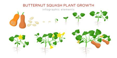 Butternut squash plant growth stages infographic elements in flat design. Planting process of Cucurbita moschata from seeds, sprout to ripe pumpkin fruit, life cycle isolated on white background.