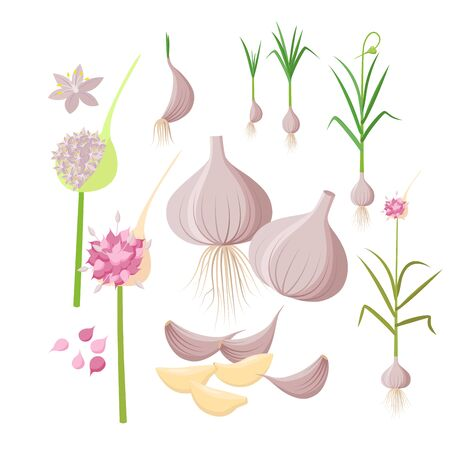 Garlic plant growing - infographic elements isolated on white background. Vector illustrations in flat design. Garlic Bulbs, cloves, flowers, seeds, ripe garlic - set of botanical drawings. Ilustração