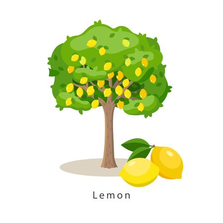 Lemon tree vector illustration in flat design isolated on white background, farming concept, tree with fruits and big ripe lemons near it, harvest infographic elements.