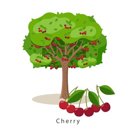 Cherry tree vector illustration in flat design isolated on white background, farming concept, tree with fruits and big ripe cherries near it, harvest infographic elements