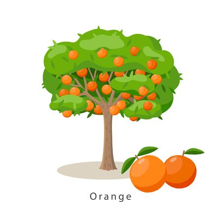 Orange tree vector illustration in flat design isolated on white background, farming concept, tree with fruits and big oranges near it, harvest infographic elements Ilustração