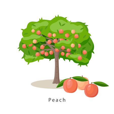 Peach tree vector illustration in flat design isolated on white background, farming concept, tree with fruits and big peaches near it, harvest infographic elements Ilustração