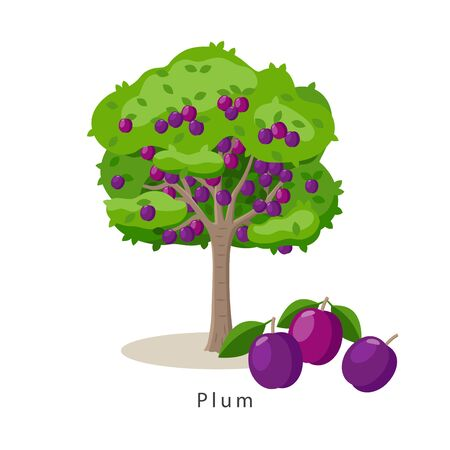 Plum tree vector illustration in flat design isolated on white background, farming concept, tree with fruits and big purple plums near it, harvest infographic elements.