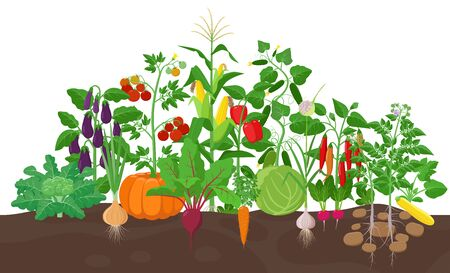 Garden with vegetable plants growing in the garden - vector flat illustration, group of vegetable plants in soil isolated on white background. 矢量图像