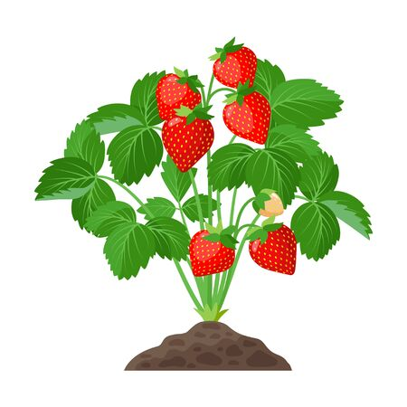 Strawberry plant growing in the soil full of ripe strawberries, red fruits and green leaves - vector botanical illustration isolated on white background 矢量图像