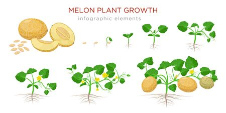 Melon plant growing stages from seeds, seedling, flowering, fruiting to a mature plant with ripe melons - set of botanical illustrations, infographic elements, flat design isolated on white background.