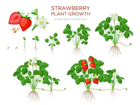 Strawberry plant growing stages from seeds, seedling, flowering, fruiting to a mature plant with ripe red fruits - set of botanical illustrations, infographic elements in flat design isolated on white. 矢量图像