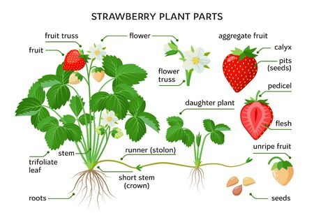 Strawberry plant parts, botanical drawings with the names of plant parts, morphology. Set of vector illustrations isolated on white background in flat design