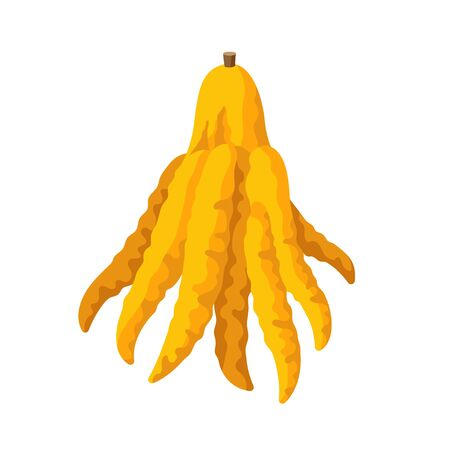 Fingered citron vector illustration isolated on white background. Juicy tropical exotic fruit Buddha s hand. Ilustração