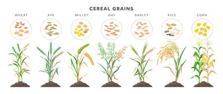 Cereal grains with seeds - set of icons, vector illustrations. Cereal grasses growing from soil isolated on white background.