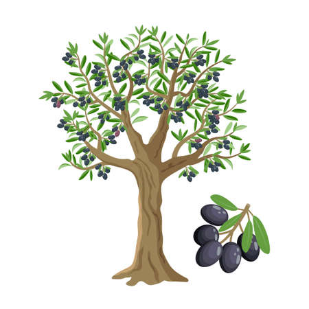 Olive tree with black olives, ripe olives and olive branch isolated on white backgroun, vector illustration.