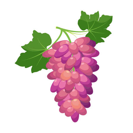 Bunch of red grapes. Grape product, vector illustration isolated on white background.