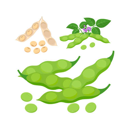 Edamame, immature soybeans and mature soy beans in pods. Soybean product - vector illustration isolated on white background.
