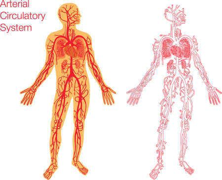 easy to edit illustration of circulatory system