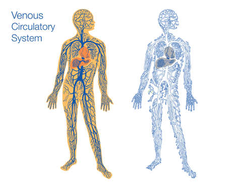 medical man: easy to edit vector illustration of venous circulatory system