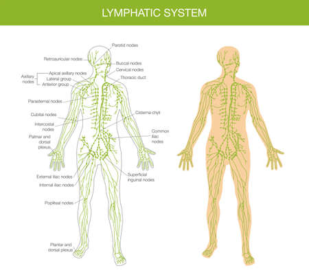 lymph: detailed summary the human body - a textbook on anatomy Illustration