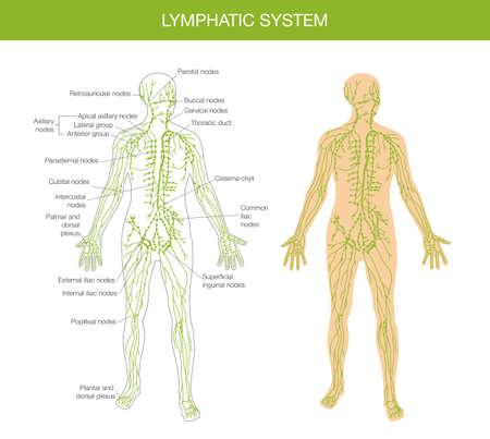 gedetailleerd overzicht van het menselijk lichaam - een leerboek over anatomie