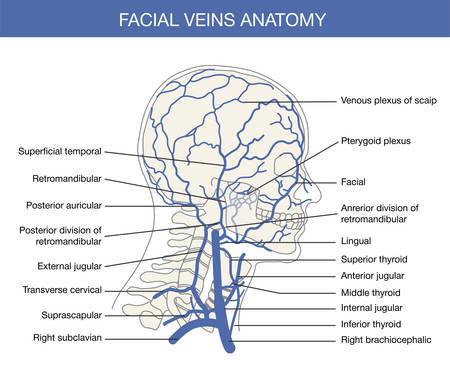 male chest: anterior facial vein is a relative large vein in the human face