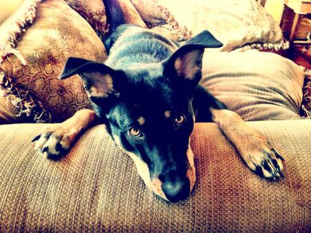 rescued: dog lying on sofa Stock Photo