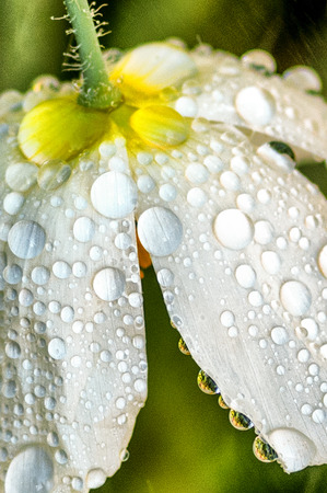drenched: upside-down white flower drenched in raindrops Stock Photo