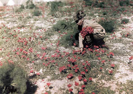 anzac: Red Anemones