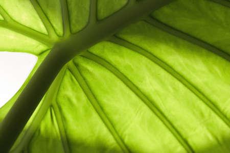 to foliate: green  foliate