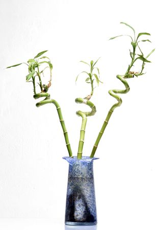 three bamboo plants in blue urn on white background
